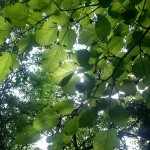 mulberry-leaves